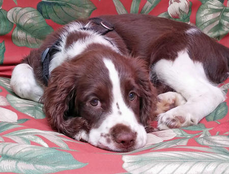 Reagan the English Springer Spaniel Pictures 1022365