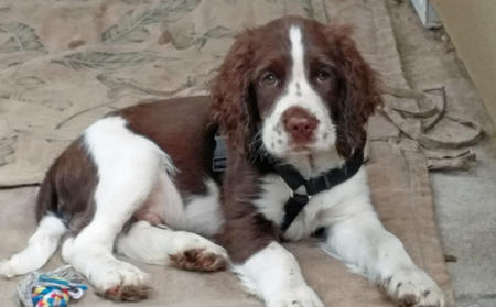 Reagan the English Springer Spaniel Pictures 1022367