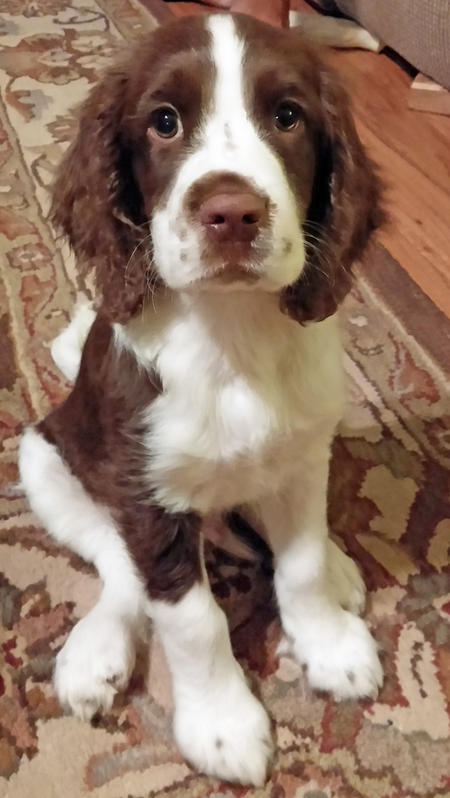 Reagan the English Springer Spaniel Pictures 1022368