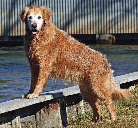 Regal the Golden Retriever Pictures 954544