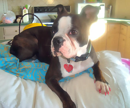 Reggie the Boston Terrier Pictures 790997