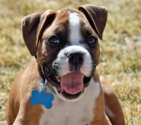 Reggie the Boxer Pictures 770644