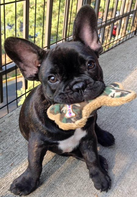 Reggie the French Bulldog Pictures 930810