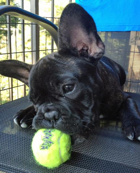 Reggie the French Bulldog Pictures 930811