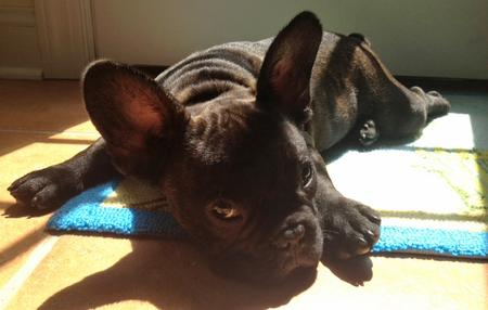 Reggie the French Bulldog Pictures 930812
