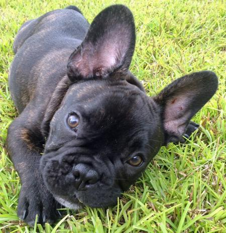 Reggie the French Bulldog Pictures 930813