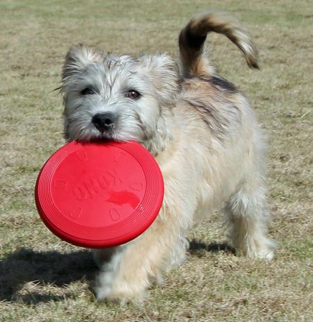 Regis the Glen of Imaal Terrier Pictures 1008362