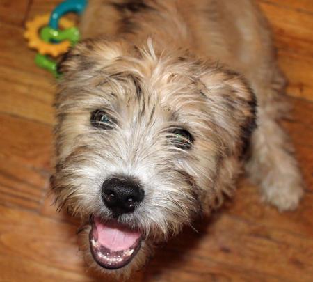 Regis the Glen of Imaal Terrier Pictures 1008363