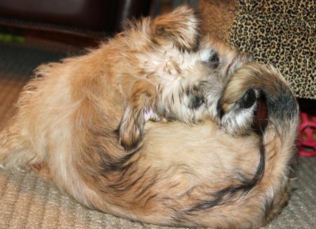 Regis the Glen of Imaal Terrier Pictures 1008364