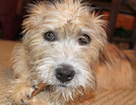 Regis the Glen of Imaal Terrier Pictures 1008365