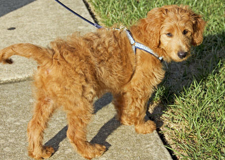 Reilly the Goldendoodle Pictures 655825