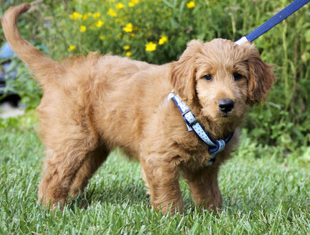 Reilly the Goldendoodle Pictures 655827