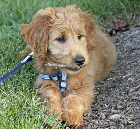 Reilly the Goldendoodle Pictures 655821