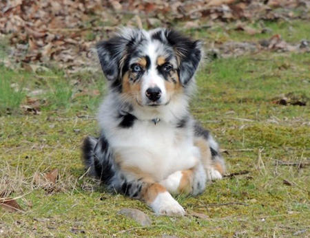 Remington the Australian Shepherd Pictures 1000383