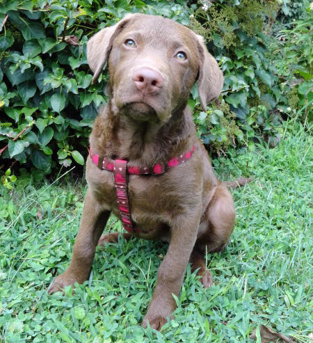 Remy the Chesapeake Bay Retriever Pictures 830855