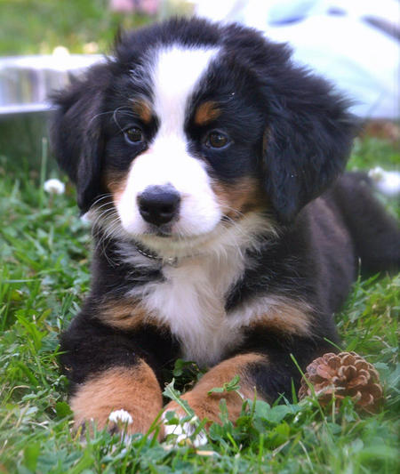 Resli the Bernese Mountain Dog | Puppies | Daily Puppy