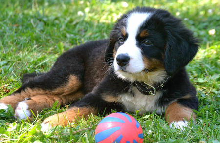 Resli the Bernese Mountain Dog Pictures 907853