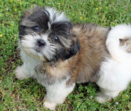 Revy the Shih Tzu Pictures 887153