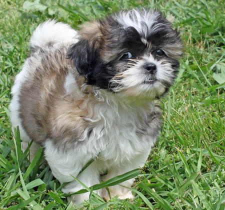 Revy the Shih Tzu Pictures 887154