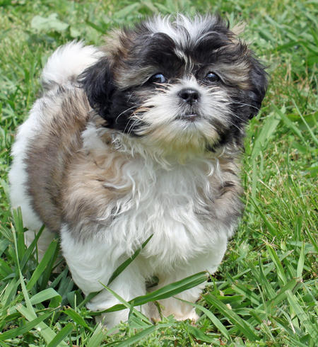 Revy the Shih Tzu Pictures 887155