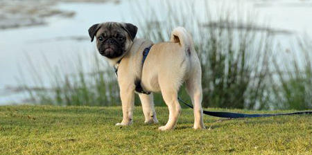 Rex the Pug Pictures 447503