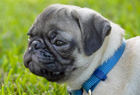 Rex the Pug Pictures 447506