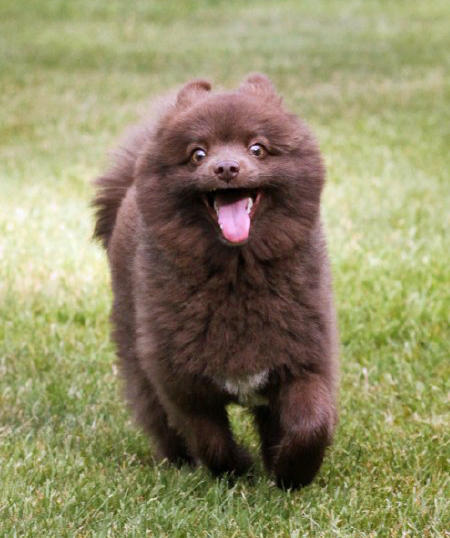 Rico the Pomeranian Pictures 1026375