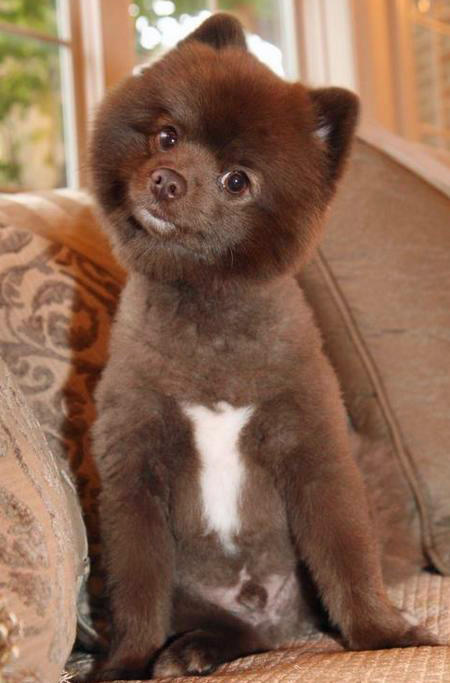 Rico the Pomeranian Pictures 1026376