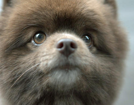 Rico the Pomeranian Pictures 1026377