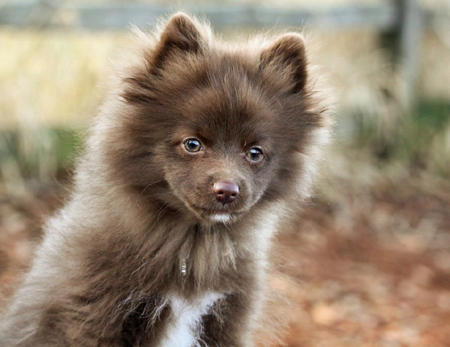 Rico the Pomeranian Pictures 1026378