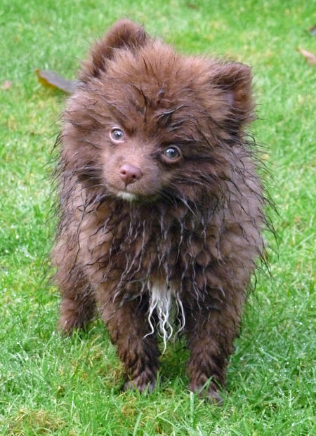Rico the Pomeranian Pictures 1026379