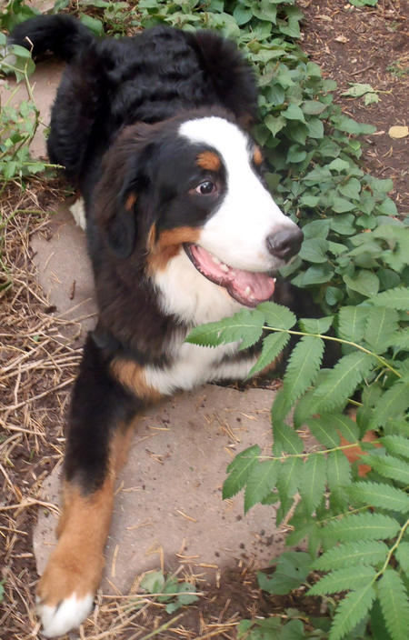 Ricola the Bernese Mountain Dog Pictures 934520