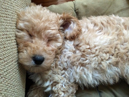 Ridley the Goldendoodle Pictures 1002981