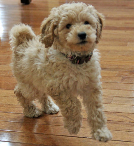 Ridley the Goldendoodle Pictures 1002982