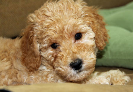 Ridley the Goldendoodle Pictures 1002983
