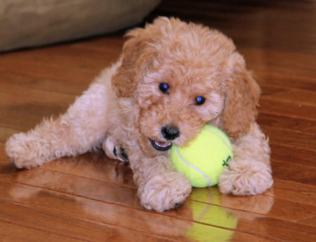 Ridley the Goldendoodle Pictures 1002984