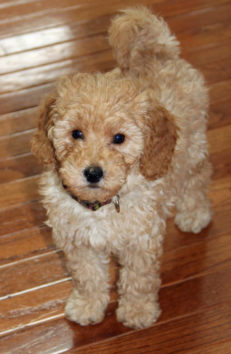 Ridley the Goldendoodle Pictures 1002985