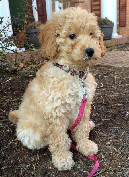 Ridley the Goldendoodle Pictures 1002986