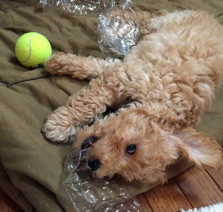 Ridley the Goldendoodle Pictures 1002987
