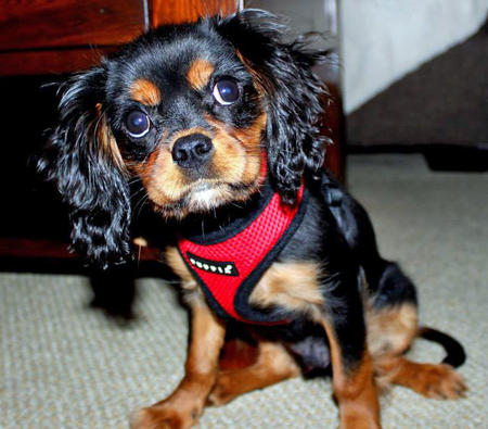 Rigby the Cavalier King Charles Spaniel Pictures 1007795