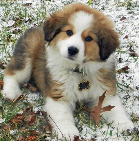 Rigby the Great Pyrenees Mix Pictures 867799
