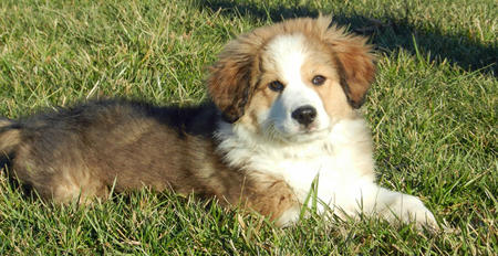 Rigby the Great Pyrenees Mix | Puppies | Daily Puppy