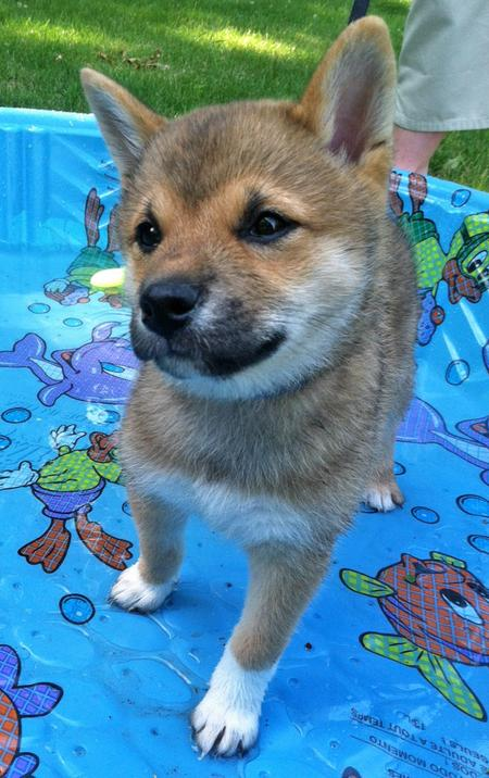 Rigby the Shiba Inu Pictures 961924