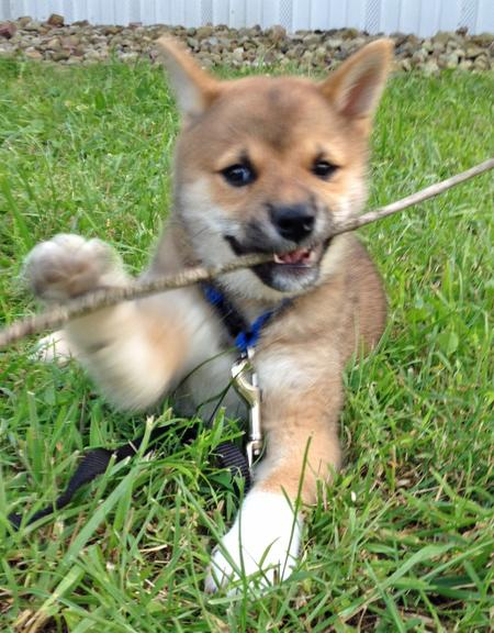 Rigby the Shiba Inu Pictures 961925