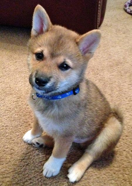 Rigby the Shiba Inu Pictures 961926