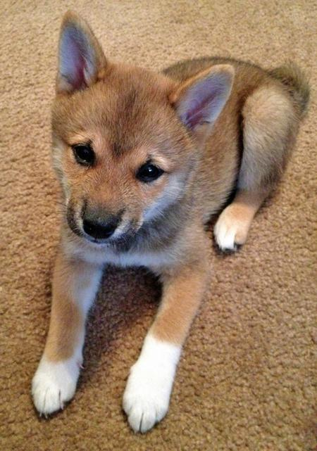 Rigby the Shiba Inu Pictures 961922