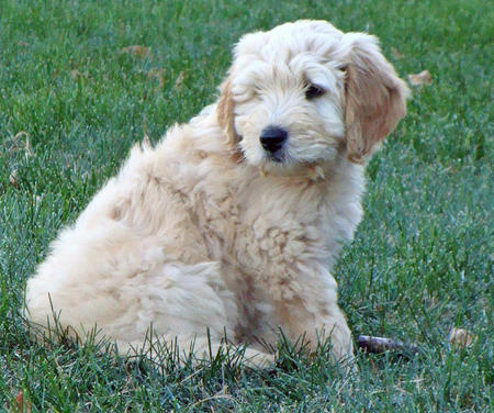 Riggins the Goldendoodle Pictures 954671