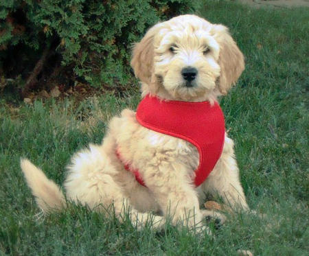 Riggins the Goldendoodle Pictures 954672