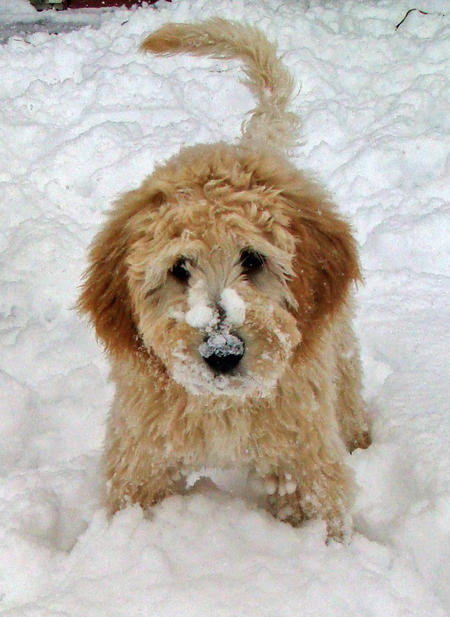 Riggins the Goldendoodle Pictures 954674
