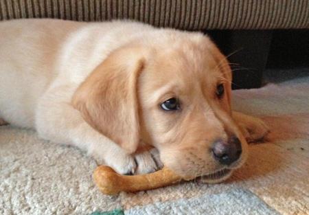 Riggins the Labrador Retriever Pictures 967010